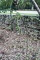 Hibiscus grandidieri var. greveanus 1zz.jpg