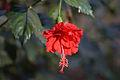 Hibiscus rosa-sinensis, Hyd.jpg