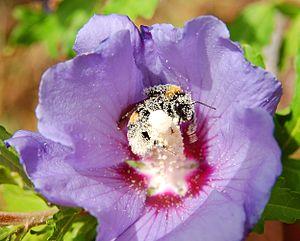 Bombus ruderatus - Image: Hibiscus syriacus Bombus ruderatus 1 Luc Viatour