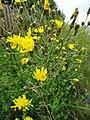 Hieracium laevigatum Willd. (7608618150).jpg