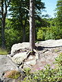 High Rocks on top tree roots 4125.JPG