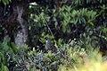 Hill-partridge (Arborophila torqueola) male JEG1981.jpg