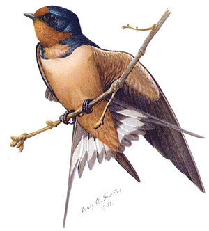 Louis Agassiz Fuertes - Barn swallow from The Second Book of Birds, 1901