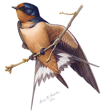 Sphinx Head - Barn Swallow by Louis A. Fuertes (Sphinx Head 1897), from The Second Book of Birds, 1901