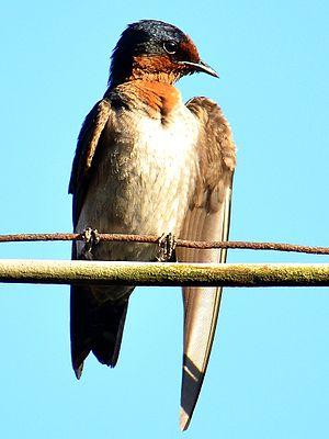 Pacific swallow - Image: Hirundo tahitica javanica