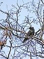 Hoch oben im Baum einzelner Star 2013 März.JPG