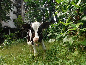 Holstein Frisian.jpg