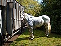 Horse drawn hearse horse City of London Cemetery 3 lighter.jpg