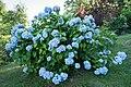 Hortensie, blau.jpg