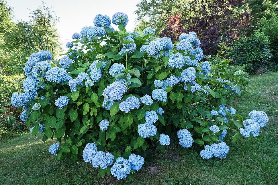 Hortensie, blau