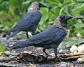 House Crow (Corvus splendens).jpg