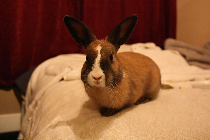 Rabbit Health How A Misaligned Jaw Almost Killed My Pet Rabbit