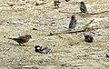 House Sparrow Passer domesticus by Raju Kasambe DSCN2160 (1) 01.jpg