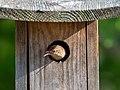 House wren in JBWR (50187).jpg