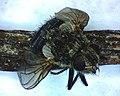 Housefly 01 (42210306844).jpg