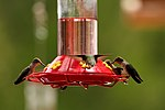 Humming Birds - Zion National Park (14119970767).jpg
