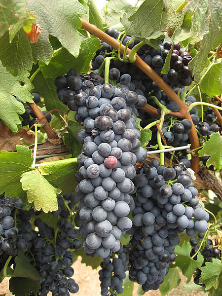 Файл:Hunter Shiraz grapes.jpg