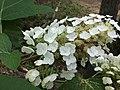 Hydrangea quercifolia flowers.jpg