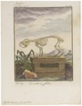 Hydrochoerus capybara - skelet - 1700-1880 - Print - Iconographia Zoologica - Special Collections University of Amsterdam - UBA01 IZ20600083.tif