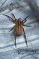 Hygrolycosa rubrofasciata female Bytom.jpg