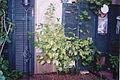 IFrog Backyard Limetree.jpg