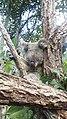 IMAG1102 beautiful koala.jpg