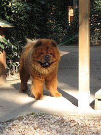 Chow Chow with reddish coat.