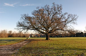 Cannon Hill Common - Majestic Oak