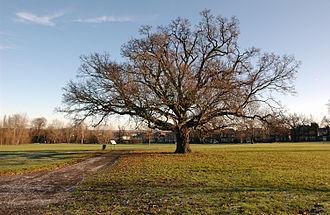Cannon Hill Common - Majestic Oak