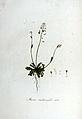Iberis medicaulis — Flora Batava — Volume v6.jpg