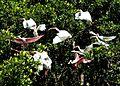 Ibis & Spoonbill, NPS Photo, Sarah Zenner (8721258510).jpg