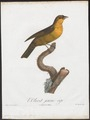 Icteria virens - 1805 - Print - Iconographia Zoologica - Special Collections University of Amsterdam - UBA01 IZ16600293.tif