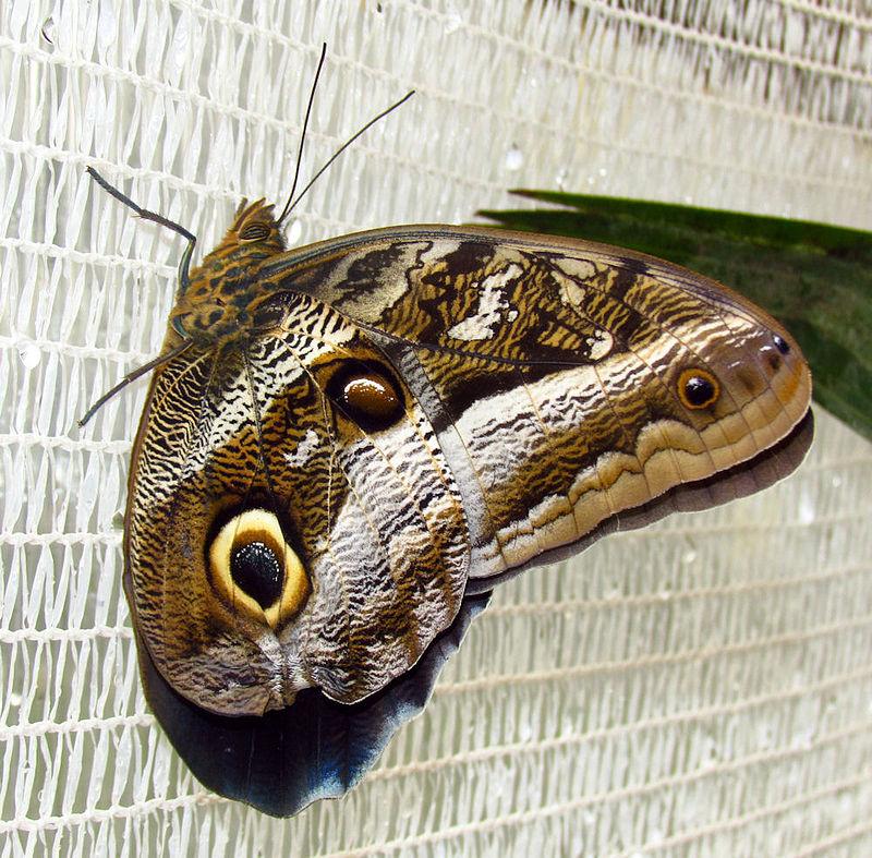 Bộ sưu tập cánh vẩy 6 800px-Idomeneus_Giant_Owl%2C_Quito
