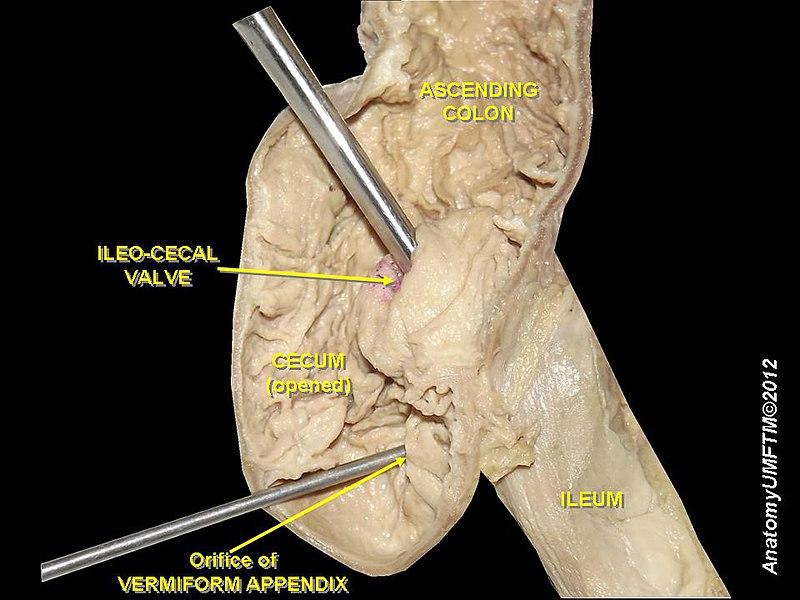 Ileo-cecal valve.JPG