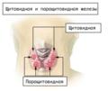 Illu thyroid parathyroid ru.png