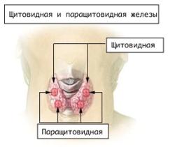 Щитовидная железа доклад википедия 2110