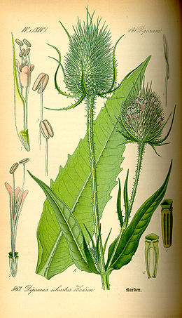 Illustration Dipsacus fullonum0.jpg