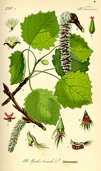 Illustration Populus tremula0