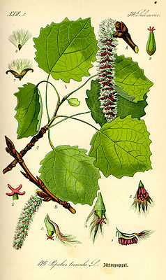Trembling Poplar (Populus tremula), illustration