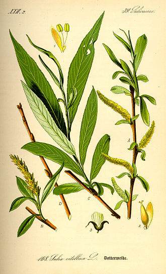 History of aspirin - Edward Stone found that the bark of the white willow (Salix alba) could substitute for Peruvian bark in the treatment of ague.