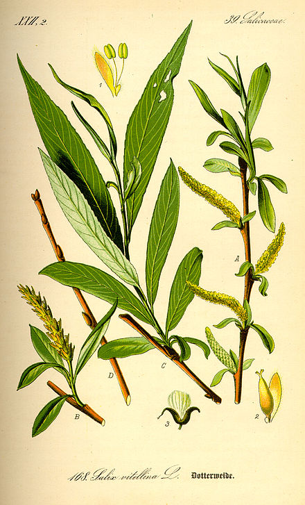 Edward Stone found that the bark of the white willow (Salix alba) could substitute for Peruvian bark in the treatment of ague. Illustration Salix alba0.jpg
