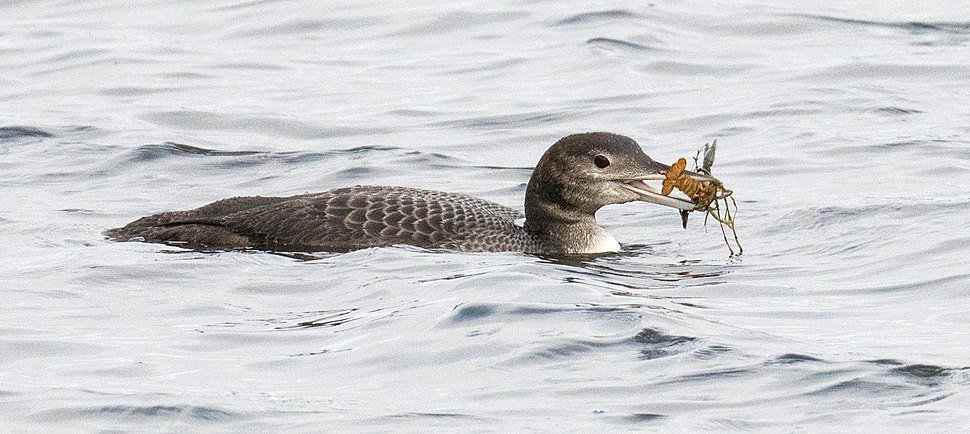 Immature loon with crayfish