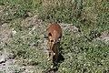 Impala, Tarangire National Park (2) (28638720621).jpg