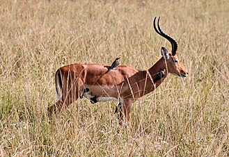 Mutualism (biology) - The red-billed oxpecker eats ticks on the impala's coat, in a cleaning symbiosis.