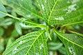 Impatiens hians-Jardin botanique Meise (3).jpg