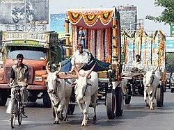 Zebu oxen in Mumbai, India.