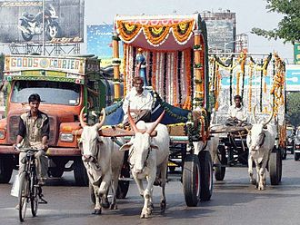 Ox - Zebu pulling an ox cart in Mumbai, India.