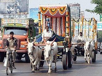 Ox - Zebu oxen in Mumbai, India.