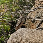 Indian Eagle Owl (Bubo bengalensis) in Bhongir, AP W IMG 3136.jpg