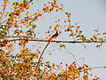 Indian Paradise Flycatcher.jpg